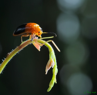 leaf beetle / Chrysomelidae / ด้วงเต่า | by bug eye :) Thailand