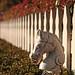 Hold yer Horses { fence }