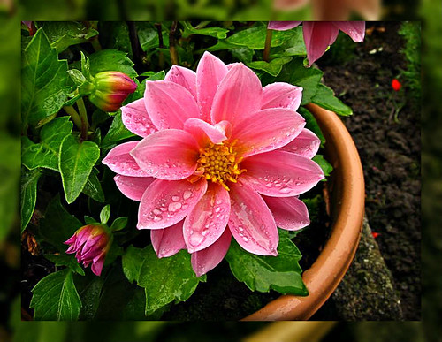 A Dahlia taken in the garden | by Lenny.... Many thanks for all your visits.
