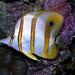 COPPER BAND BUTTERFLY FISH DSCN9344