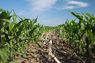 Corn planted into no-till corn residue in 2008 near Minden, Iowa. | by NRCS Soil Health