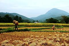 Chiang Mai Harvest.