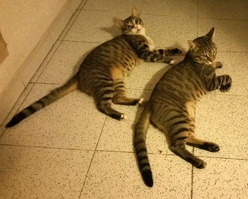 Cotton y Cobby, gatos pardo y blanquipardo inseparables, nacidos en Febrero´15, necesitan adopción Conjunta. Valencia. 29488472521_cc83c0266d