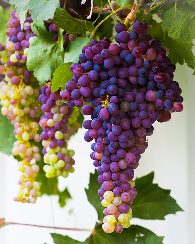 Hermiston Grapes | by Desert Sun Images
