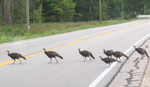 Why did the chickens, er . . I mean turkeys cross the road? | by Dr. Farnsworth