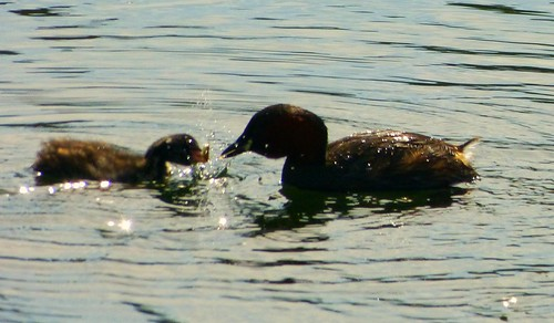 Waddon Ponds, dabchick with parent | by L'habitant