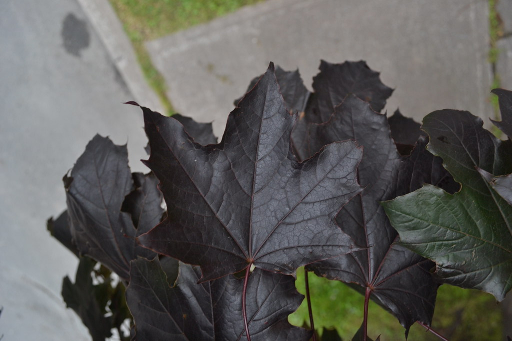 canadian purple maple leaves from acer platanoides  crimso