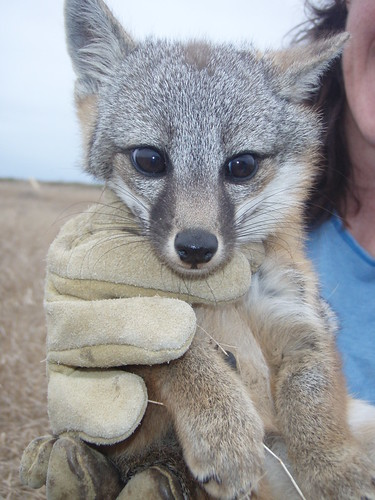 Island Fox Pup | by USFWS Pacific Southwest Region