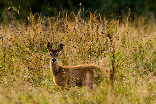 _W9H1406 Young Roe Deer (Capreolus capreolus) | by asbimages.co.uk