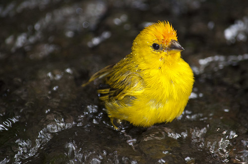 Saffron Finch going to take a shower | by oldhometown