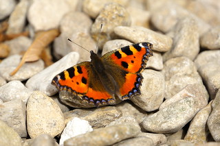 small tortoiseshell | by Mr Clive