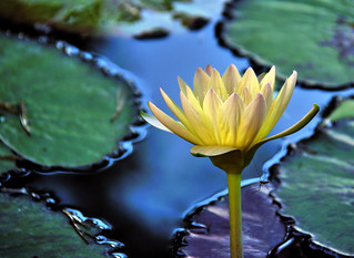 Lotus Blossom… | by Wes Iversen