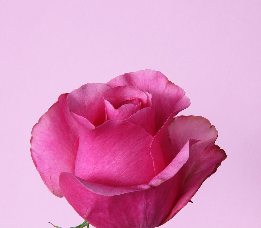 dark pink roses - HD1024×895