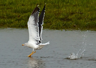 gull olympics ,THE LONG JUMP | by blackfox wildlife and nature imaging