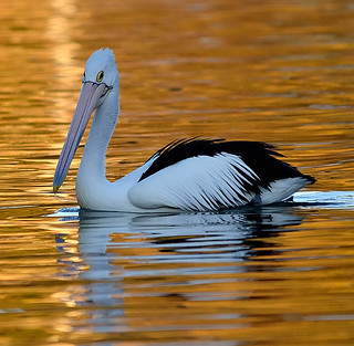 Pelican drops in. DSC_1851 | by pppumkine-