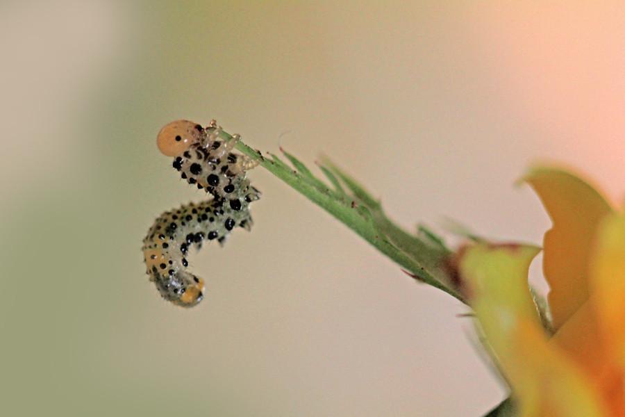 Larve de tenthr de mouche scie puce d 39 eau flickr - Larve de puce ...