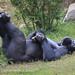 Gorilla_Lounge_U6C4301