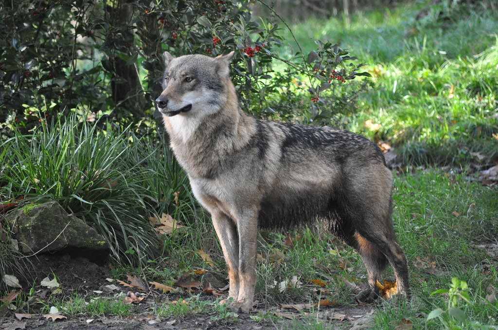 Image Result For A Wolf On
