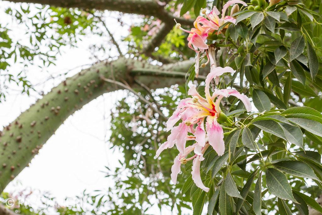 Ceiba speciosa or silk floss tree a subtropical tree wit flickr or silk floss tree a subtropical tree with bottle shaped trunk mightylinksfo