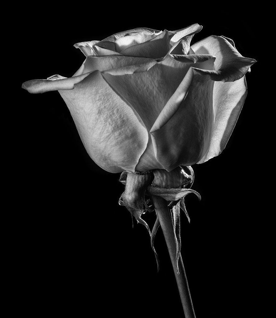 backlit white rose in black and white this is a white rose flickr