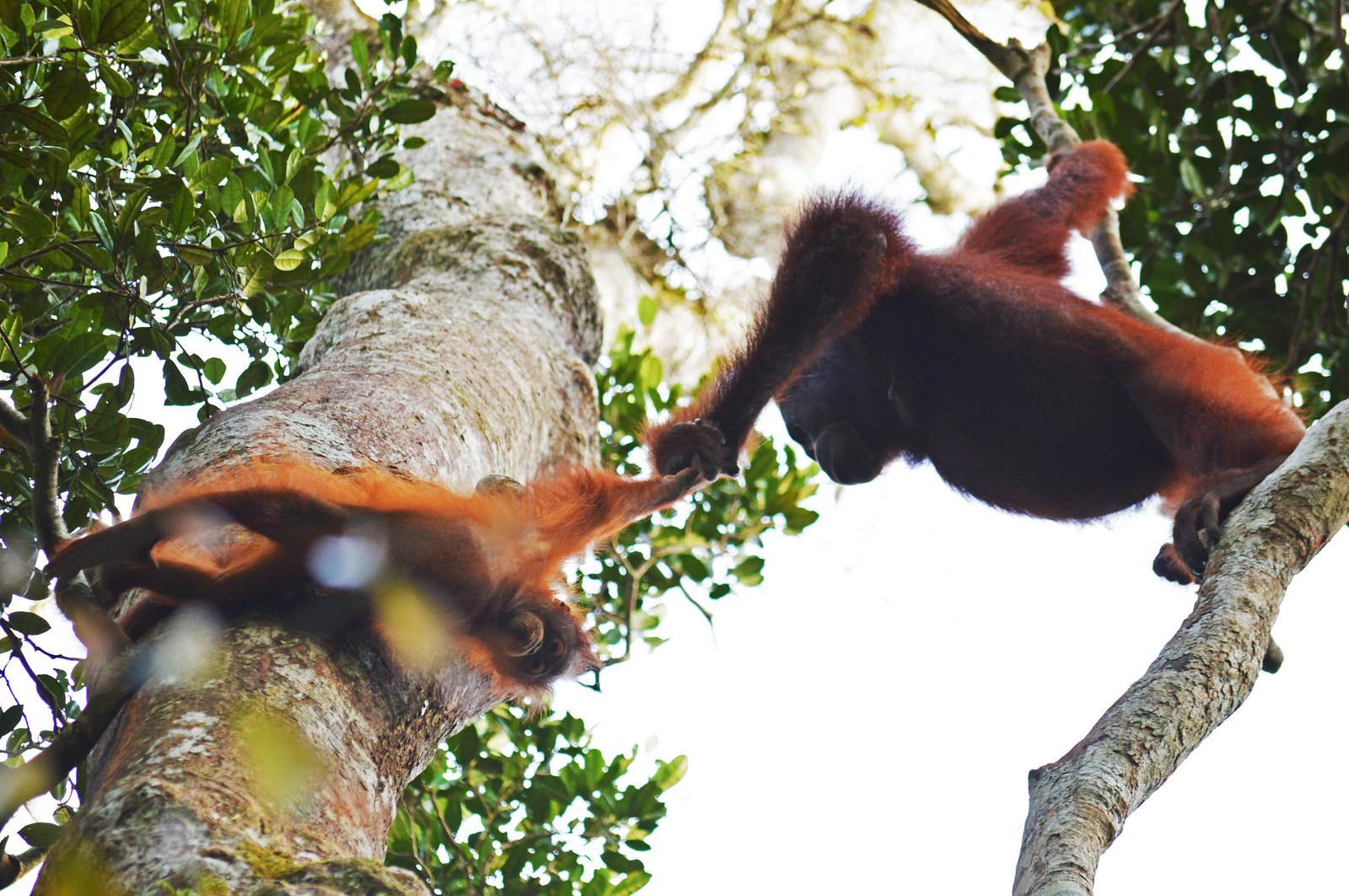 Wild Orangutans in Borneo