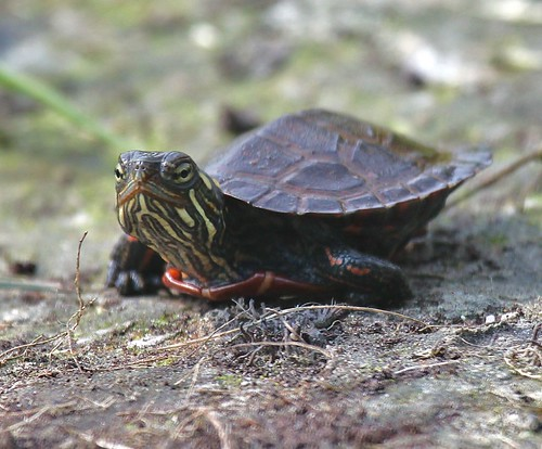 Photo of the week hatchling painted turtle vt photo for Vermont fish and wildlife jobs