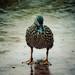 Disney duck in rain