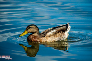 Ducky reflection | by The Suss-Man (Mike)