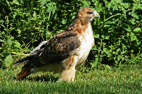 Red-tailed Hawk landed in my yard yesterday! | by nature55