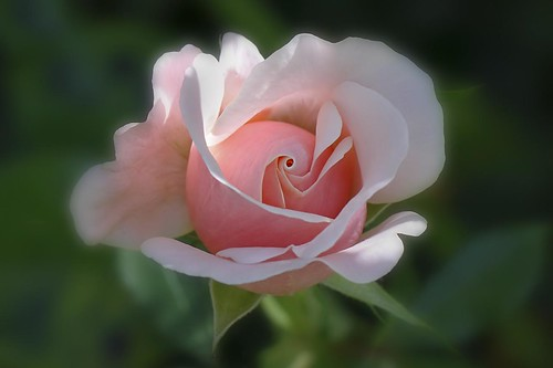 Rose Pink | by Andy 1999