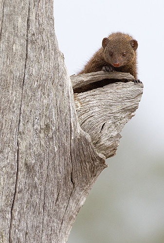 Dwarf Mongoose | by Max Waugh Photography