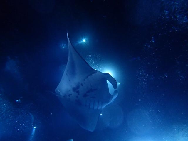 Manta Ray Night Snorkel Big Island Groupon