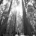 California Redwoods (B&W)