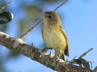 Bells Vireo1 20121009 | by Kenneth Cole Schneider