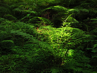 Sunlight on green Fern | by Batikart... off !!!