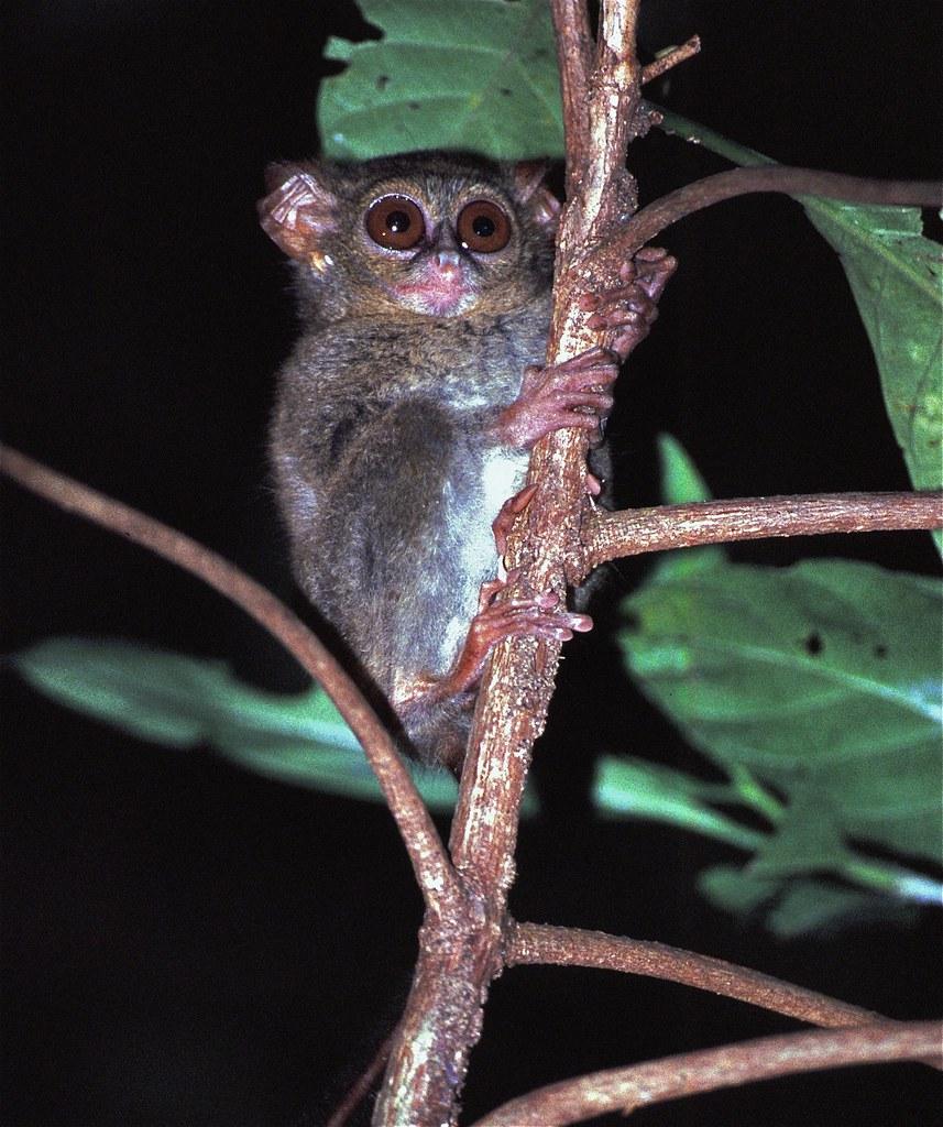 Spectral Tarsier Tarsius tarsier | by berniedup