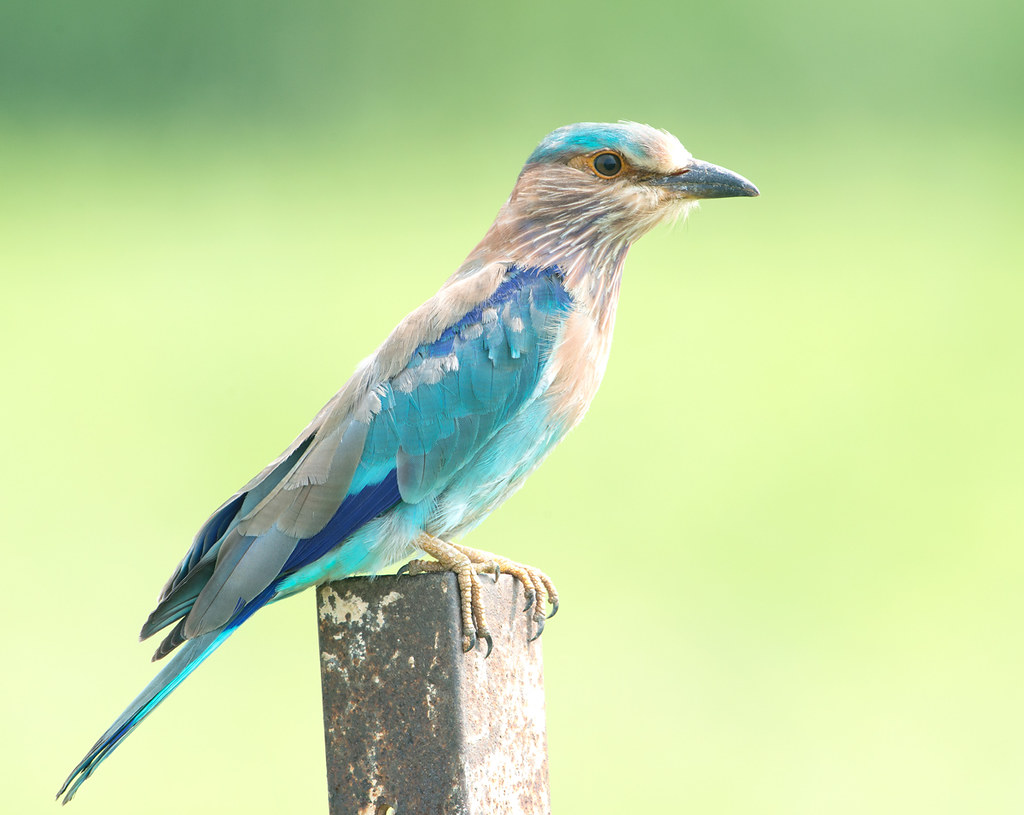 Indian Roller (View Large) | Coracias benghalensis or the ...