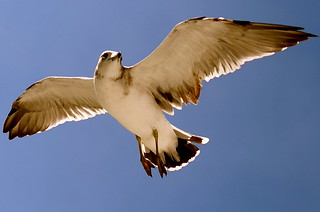 Sea Gull (1) | by Stevieozoz