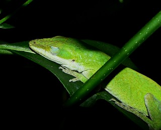 Sleeping Anole | by Dougeee