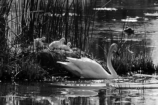 DSC_0020 swan and babies bw 850 | by guine