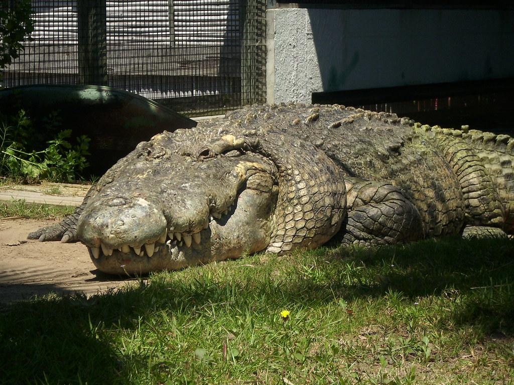 Utan King Of Crocs 1 Utan The Crocodile Hybrid Is