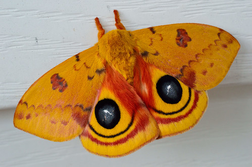 Io Moth | by Tmatogal