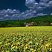 Girasoles en la Toscana
