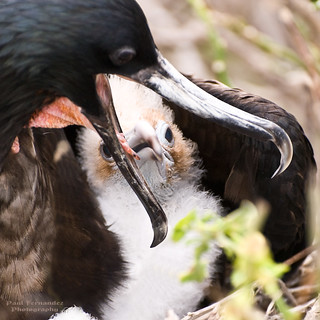 Frigate Bird Chick Seeking a Regurgitated Meal at Darwin Bay, Genovesa, Galapagos Islands | by D200-PAUL