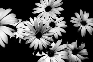 daisies. | by (Nicholas Mullany)