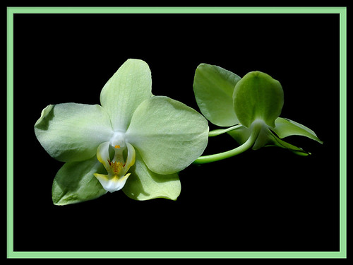 Back to Back, Pistachio Green Orchids | by S.F. Happiness