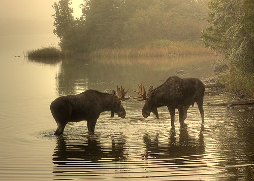 Foggy Morning Face-off | by yooper1949