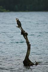cormorant laughing on Lake Hayes