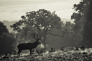 Stag keeping watch | by ShotHotspot.com