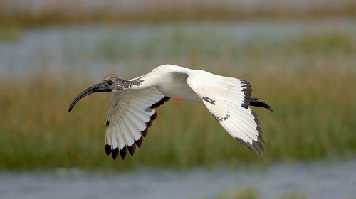 African Sacred Ibis junior 埃及聖鹮(TW083) 6Z2K1607-1 | by ABERLIN2009